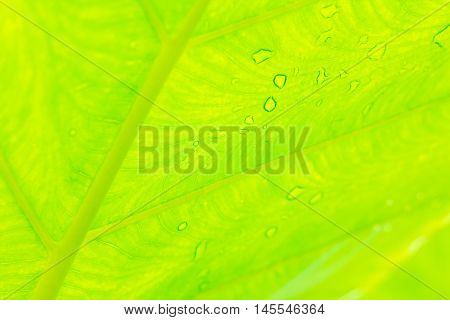 A Cocoyam leaf green texture nature  background.