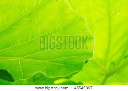 A Cocoyam leaf green texture background .