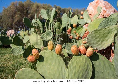 Prickly pear cactus with fruits called also Opuntia ficus-indica Indian fig opuntia barbary fig tuna growing near to the sea in the summer time. Fruits of prickly pear cactus. Horizontal. Close.
