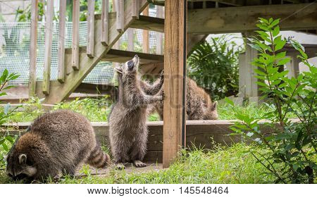 Young members of raccoon (Procyon lotor) family socialize and search for food treats near a feeder in Eastern Ontario.