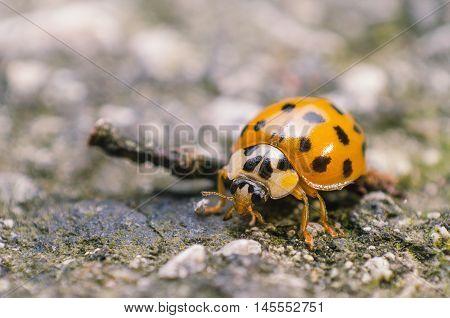 macro, closeup, animal, nature, coccinella, isolated, garden, close, beetle,