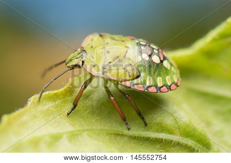Cimice, macro, closeup, animal, nature, cimice, verde, foglia,