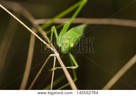 Orthoptera, green, macro, nature, closeup, insect, wild