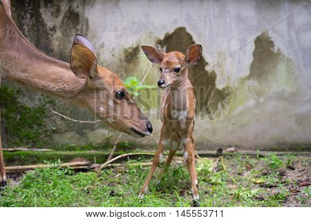 Young Nyala And Mother