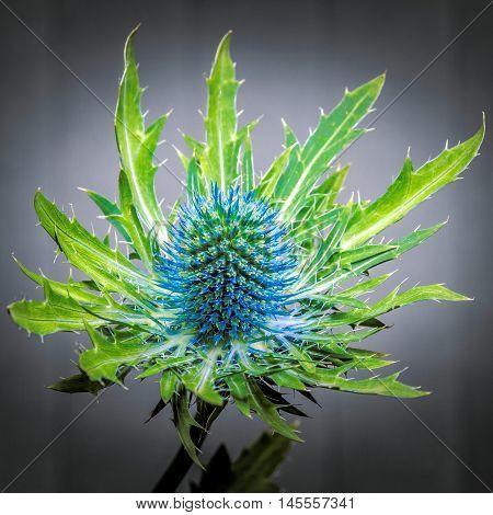 close up of a spikey blue eryngium flower