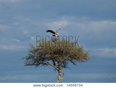African White-backed Vulture landing in acacia tree poster
