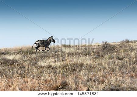 Run Mountain Zebra Run