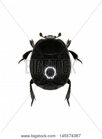 Clown Beetle Margarinotus on white Background  -  Margarinotus striola (Sahlberg, 1819)
