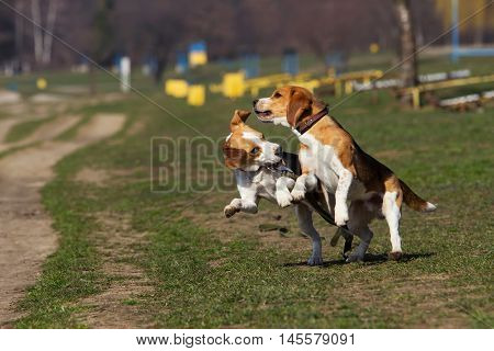 the dogs breed beagle is playing on green grass