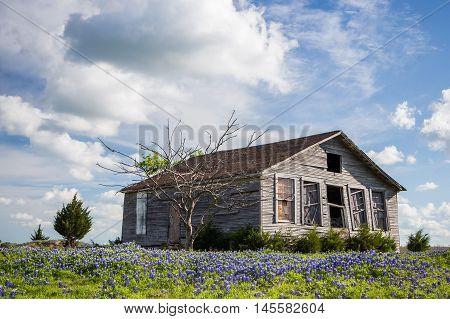 texas bluebonnet field and abandon barn in Ennis Texas
