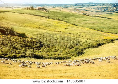 Beautiful tuscan landscape on the green field with sheeps near Pienza town in Italy