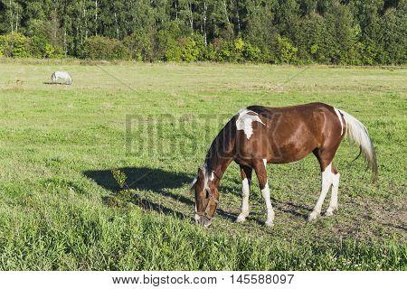 beautiful meadow where a beautiful well-groomed horse walk
