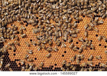 Bees Broods working bee larvae heated on honeycomb.