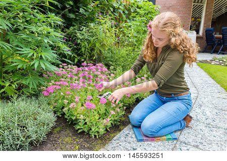 Young dutch woman pruning sedum flowers in garden