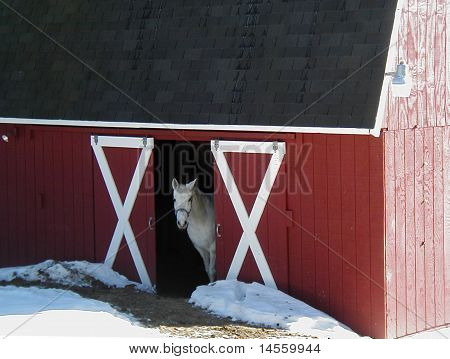 Arabian Horse In Front of Red Barn