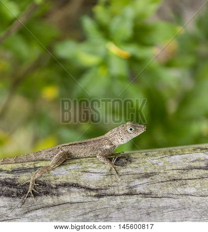 small reptile on a wooden bark in Dominika