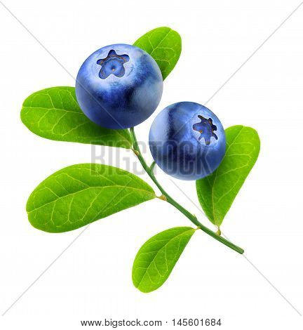 Isolated Blueberries Branch