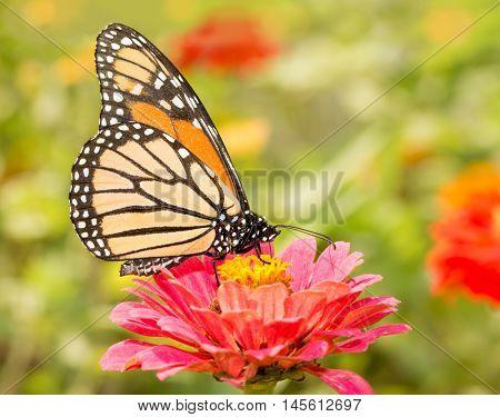 Closeup of a Monarch butterfly, Danaus plexippus, on a pink flower