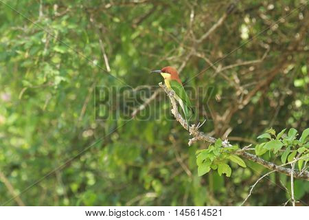 Sri lankan bird in yala national animal's park