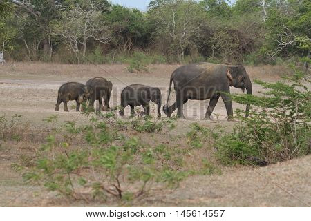 Sri lankan wild elephant in the yala national animal's park