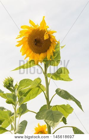 Vertical image of sunflower with white background.