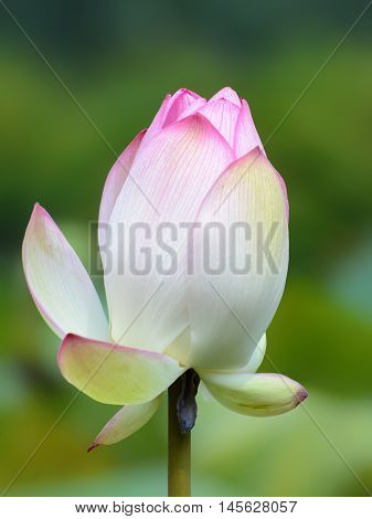 Pink nelumbo nucifera flower closeup, also known as the sacred or Indian lotus