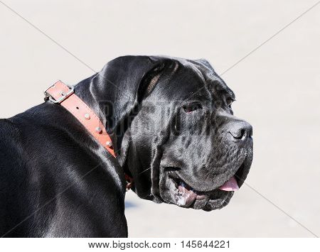 Cane Corso dog outdoor portrait over grey blurry background
