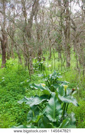 Melaleuca trees and wild calla lilies in a natural woodland in Bibra Lake, Western Australia
