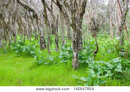 Lush forest with melaleuca, or paperbark, trees and overgrown wild calla lilies in a natural reserve in Bibra Lake, Western Australia