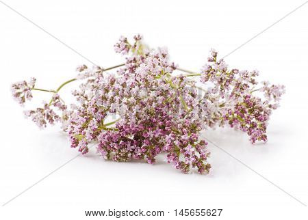 Valerian herb flower sprigs on a white background