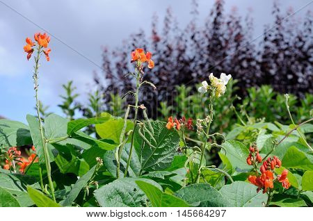 Scarlet Emperor and White Lady runner beans growing together England UK Western Europe.