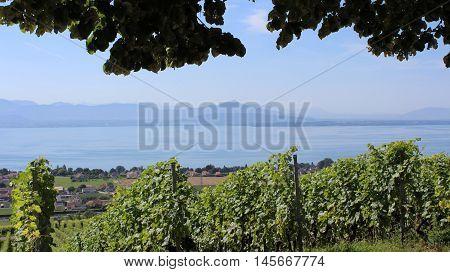The gently sloping vineyards of La Cote overlooking Lake Geneva (Lac Leman) in Switzerland.