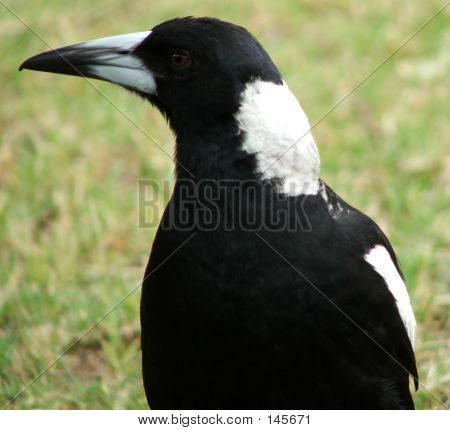 Animals - Magpie