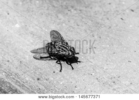A macro shot of a fly in black and white