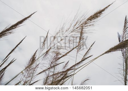 Poaceae grass flower are blowing by wind, selective focus, shallow depth of field, vintage tone