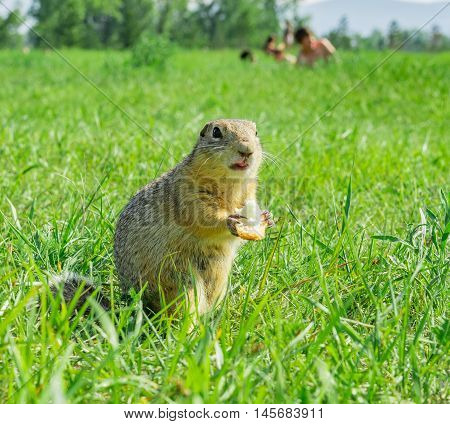 Gopher eating small piece of bread on meadow with people on the background
