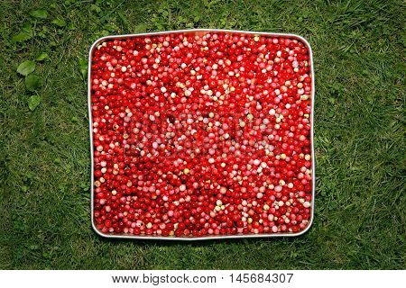Red quadrate from berries of a red bilberry on green grass background.
