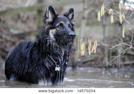 German Shepherd dog gsd in water