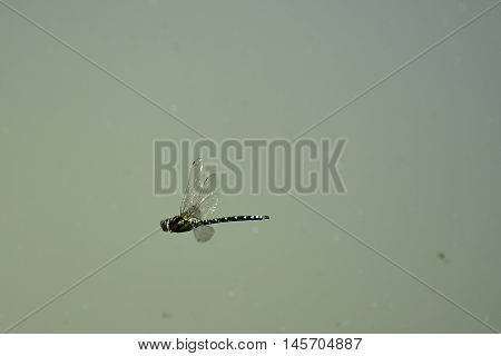 Dragonfly flying above the water. Dragonfly flies