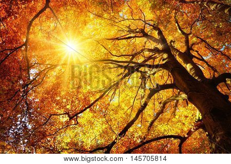 Autumn sun shining warmly through the leaves of a majestic gold beech tree worm's eye view