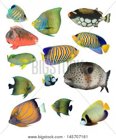 Marine fish, tropical fish, reef fish collection isolated on white background