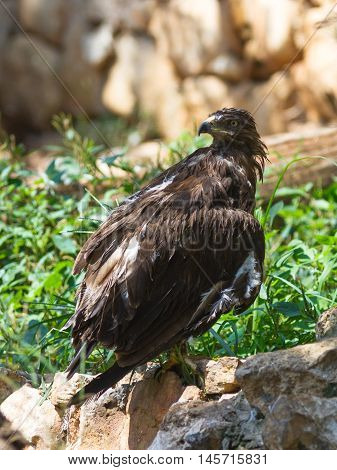Lesser Spotted Eagle Is Sitting On A Rock