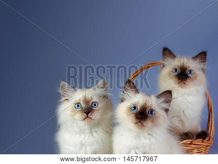 Three Neva masquerade kittens on blue background. poster