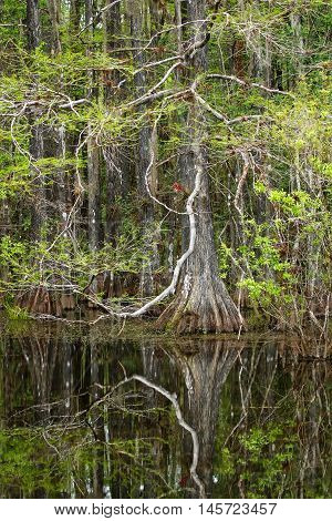 Bald cypress trees growing in 6 mile Cypress Slough in Florida
