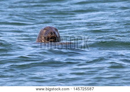 A male gray seal snoozing in the ocean off Cape Cod. poster