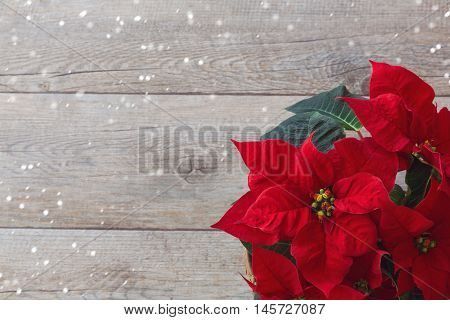 Christmas red flower poinsettia over wooden background
