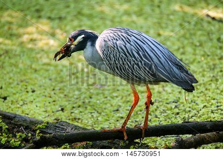 Yellow-crowned night-heron (Nyctanassa violacea) eating crayfish in a swamp