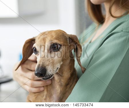 Dachshund Held By Nurse In Veterinary