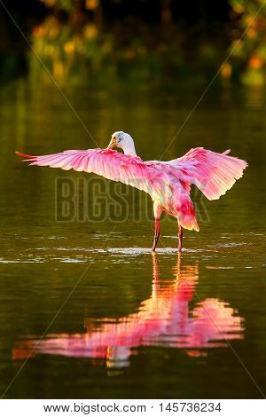 Roseate spoonbill (Platalea ajaja) spreading wings with reflection
