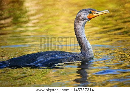Female Double-crested cormorant (phalacrocorax auritus) swimming in a river